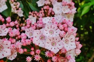Pink flowers of American Mountain Laurel (Kalmia Latifolia)