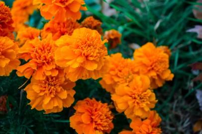 marigolds - rayna