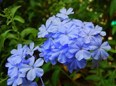 periwinkle-flower-7 Zoie
